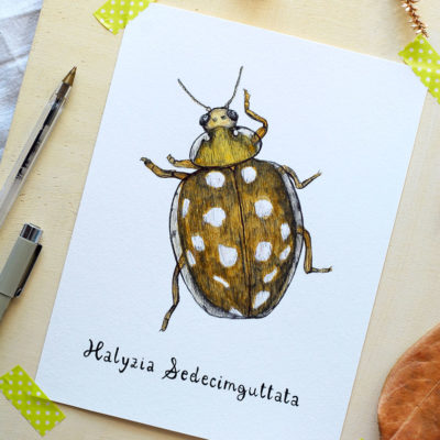 Day 13 - Halyzia sedecimguttata