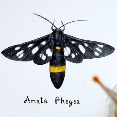 Day 16 - Amata phegea
