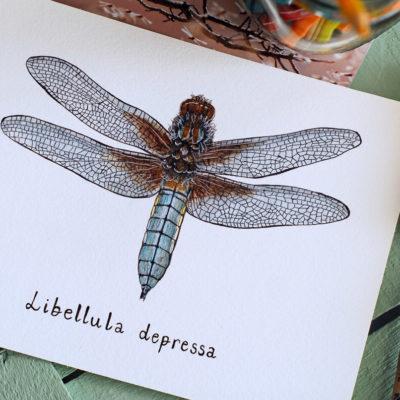 Day 30 - Libellula depressa
